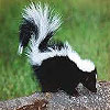 Dream meaning Skunk