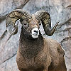 The Ram symbol for Talismans and Charms