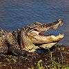 Dream Alligators