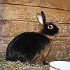 Dream Dictionary Black Rabbit