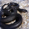Dream Dictionary Black Snake