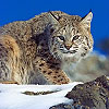 Dream Bobcat